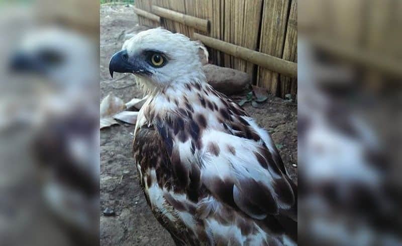 Pinsker's Hawk-Eagle rescued in Philippines