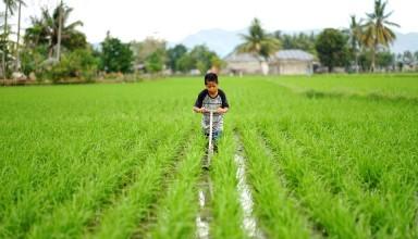 A boy works a rice field in Lamahu Village