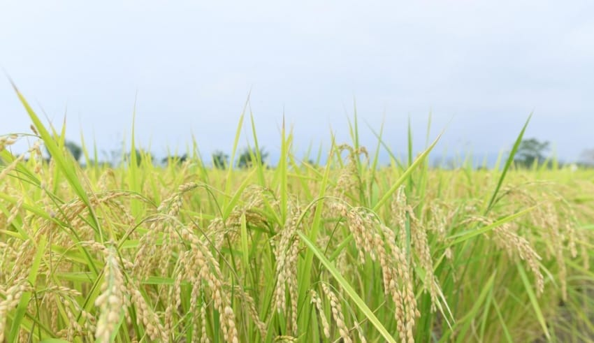 price of Thai jasmine rice has risen