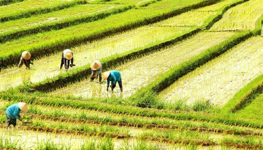 Indonesia people are working in the rice fields