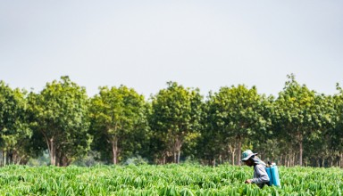 Farmers are spraying chemicals to nourish cassava